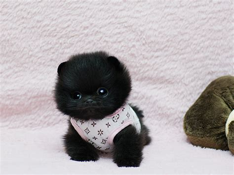 black micro teacup pomeranian adorable baby sold to family in florida boutique teacup puppies
