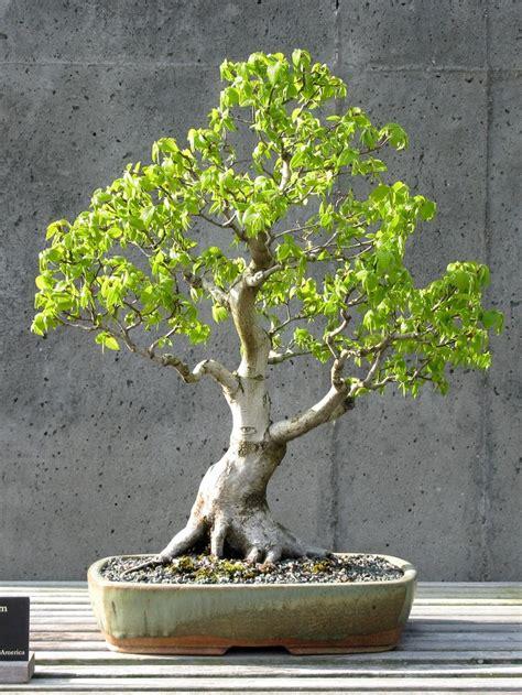 american hornbeam bonsai informal upright style moyogi bonsai pinterest style and bonsai