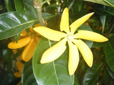 tahitian gardenia yellow blossom   petals long