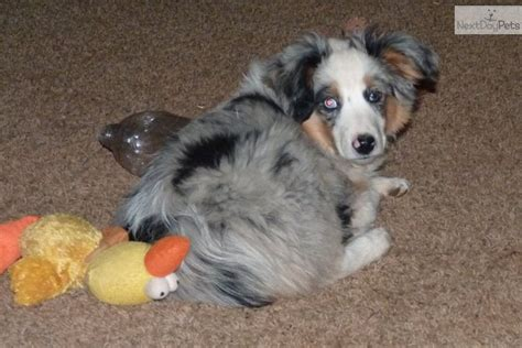 aussie puppies for sale in oklahoma australian shepherd puppies for sale in oklahoma by breeders mini breeds picture