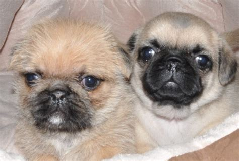 shih tzu epilepsy 25 best ideas about pug zu on pug puppies black pug puppies and black