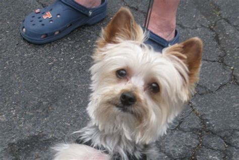 one year yorkie 1 year yorkies pictures 1 year terrier for sale bury