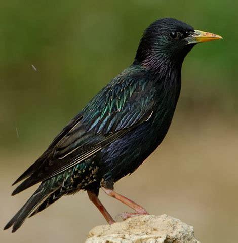 bird species european starling