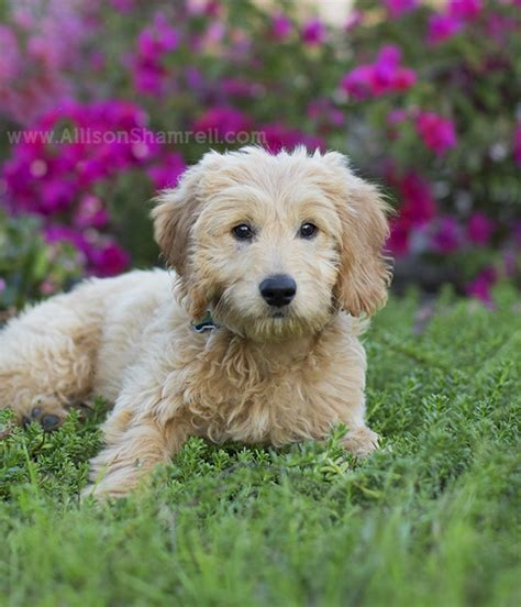 goldendoodle puppy breathing fast backyard archives san diego pet photographer allison