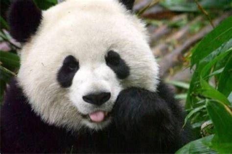 image  gambar anak panda lucu banget dp bbm