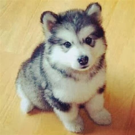 what is a pomsky puppy pomsky puppies pomskypups