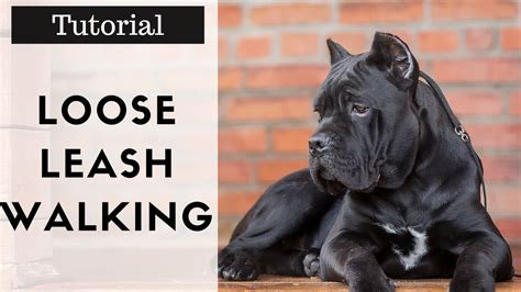 how to to walk on leash properly how to your to walk on a leash properly without pulling tutorial
