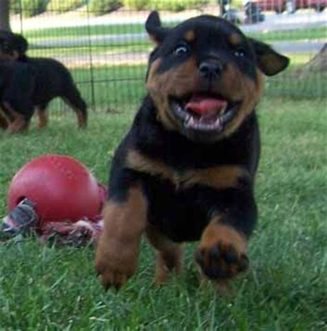 looking rottweiler 100 best images about rottweilers on best dogs puppys and rottweiler