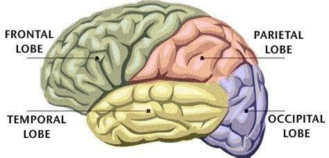 Four Sections Of The Brain by What Are The Parts Of The Human Brain What Function
