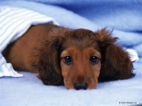 weiner puppy dogs images mini dachshund wallpaper hd wallpaper and background photos 7014512