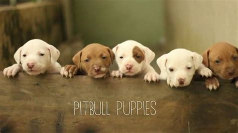 cutest pitbull puppies top 10 of the world s cutest pit bull puppies a place for pitbulls