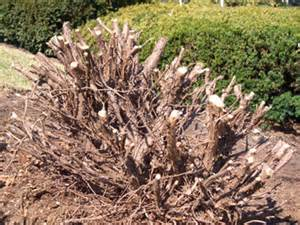 cutting back large yews can i cutback large yews