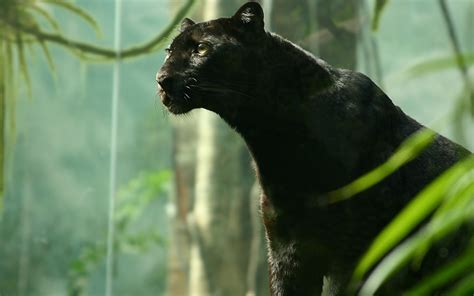 black panther animal desktop wallpaper black panther full hd wallpaper and background image