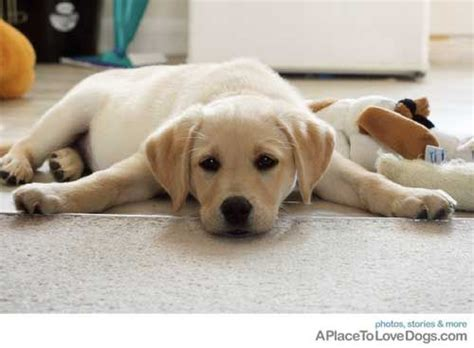 12 week lab puppy 12 week yellow lab puppy pilates puppys and classic