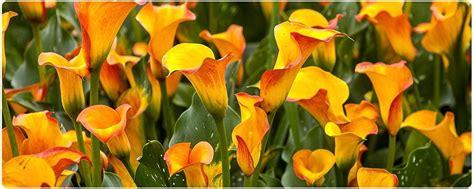 lily care calla lily lily garden