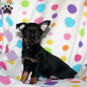 chihuahua puppies for sale in md chihuahua mix puppies for sale in de md ny nj philly dc and baltimore