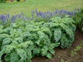 growing kale bonnie plants