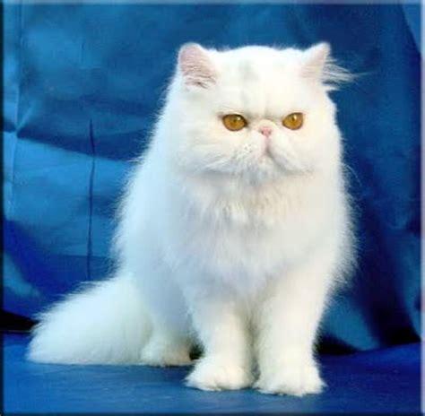 gatti persiani bianchi gatto persiano