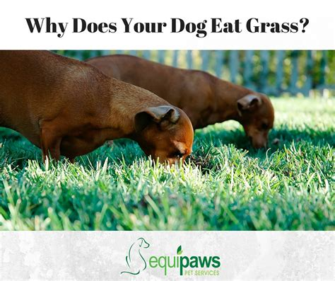 why does your dog eat grass equipaws pet services