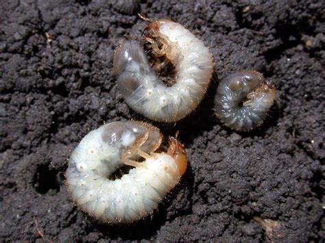 curl grubs in vegetable garden managing insects in the home vegetable gardens