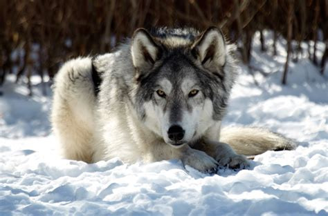 Do Wolves Shed by Wolf What You Need To About This Smart Animal