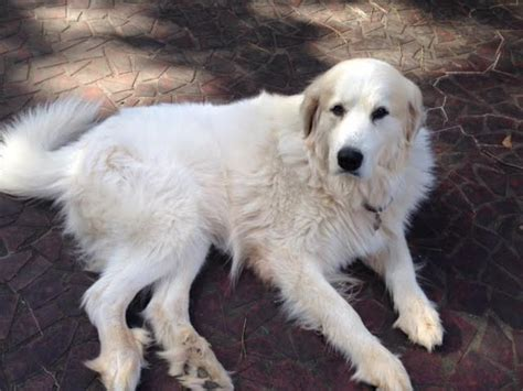 great pyrenees rescue provides wonderful dogs to good homes roadie great pyrenees rescue of atlanta