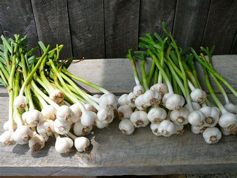 garten knoblauch pflanzen knoblauch anbauen aussaat pflege und erntezeit plantura