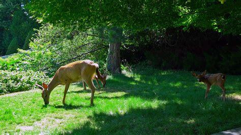 Backyard Deer backyard deer 171 ashland daily photo
