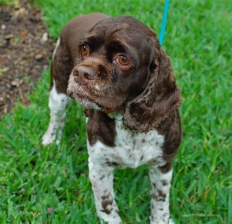 cocker spaniel puppies rescue 1000 images about american cocker spaniels on