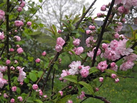 devoid of culture and indifferent to the arts flowering almond prunus glandulosa