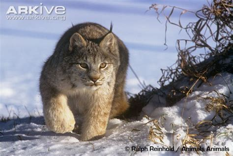 Inidia Cat 24 canada lynx photo lynx canadensis g59026 arkive