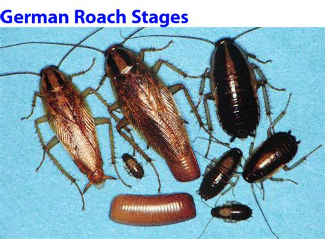 do roaches eat bed bugs yosemite pest control residential services pest control roaches bed bugs