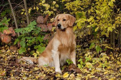 brush for golden retriever golden retriever sitting in autumn leaves by brush oglesby illinois usa