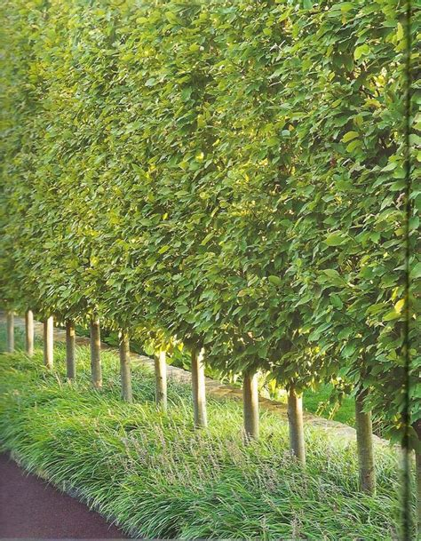 trees for privacy in backyard privacy trees hornbeams yard and home pinterest