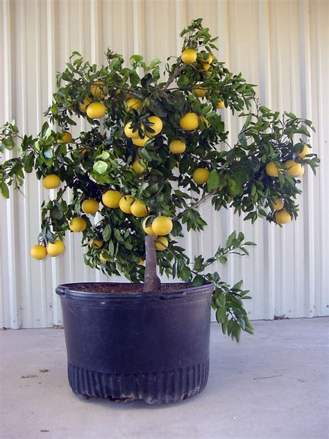 patio fruit trees in containers patio citrus for