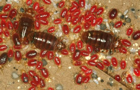 do bed bugs have hard shells bedbugs raise genetic defense against pesticides science