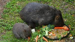 Backyard Dog 7 Things You Didn T Know About Wombats Mnn Mother