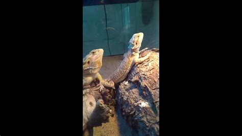 bearded heat l bearded dragons bobbing and waving to