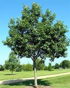 5 best shade trees for austin jenny nybro peterson