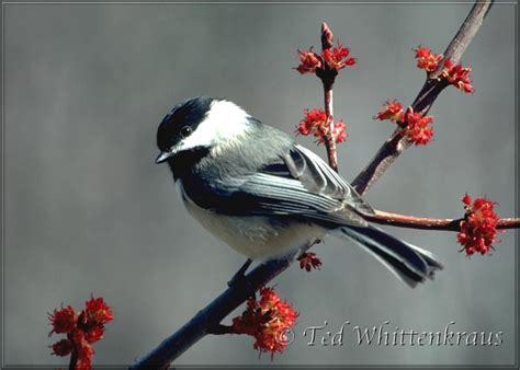 chickadee bird black capped chickadee state bird of