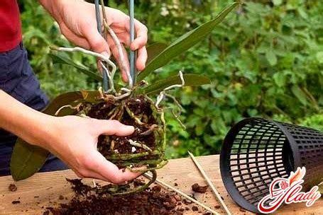Wie Pflegt Eine Orchidee 4794 by Pflege F 252 R Orchideen Winter Wichtige Nuancen