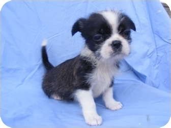 boston terrier and shih tzu avery adopted puppy baby rochester nh shih tzu boston terrier mix