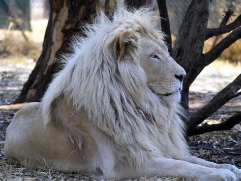 imagenes de leones raros el le 243 n blanco