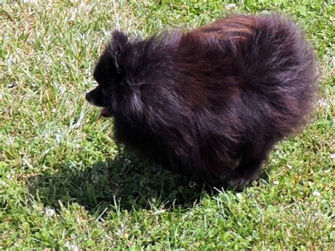pomeranian puppies maryland the happy woofer pomeranian delaware breeder puppies for sale