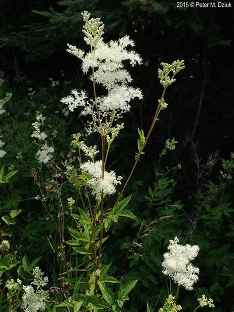 filipendula ulmaria queen   meadow minnesota