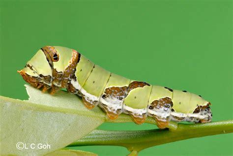 Caterpillar Lb Black Yellow lime butterfly caterpillar