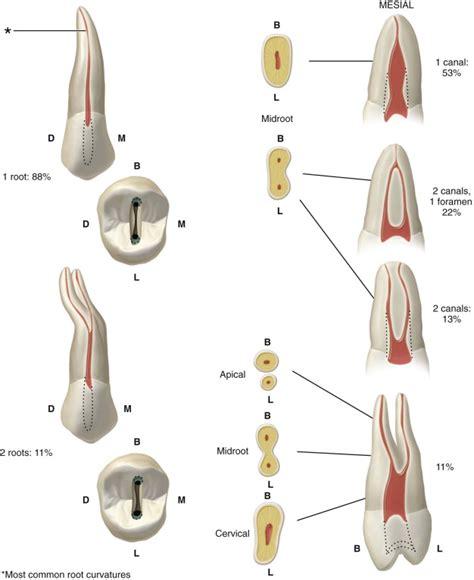 Maxillary Premolar Maxillary Premolar Canals Www Pixshark