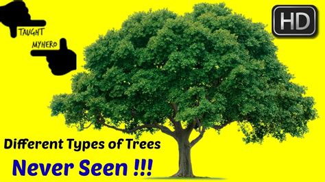 different types of trees evergreen trees i different types of trees i different