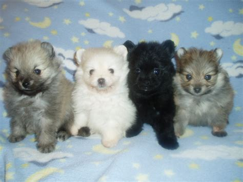 pomeranian puppies for sale az puppies for sale pomeranian pomeranians poms f category in arizona