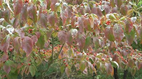 flowering shrubs for sale dogwood trees for sale flowering chris orser landscaping